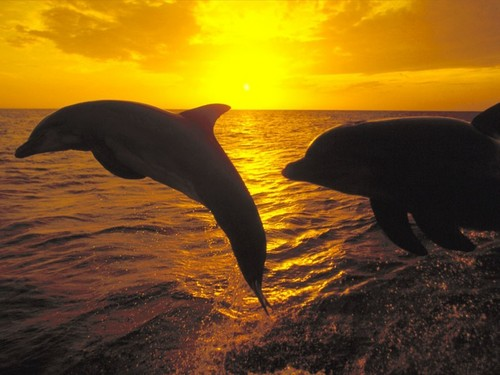 Dolphins-at-sunrise-dolphins-and-whales-3005337-1024-768.jpg